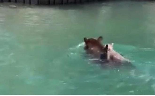 Cảm động gấu mẹ tìm cách cứu gấu con khỏi chết đuối ở hồ Tahoe