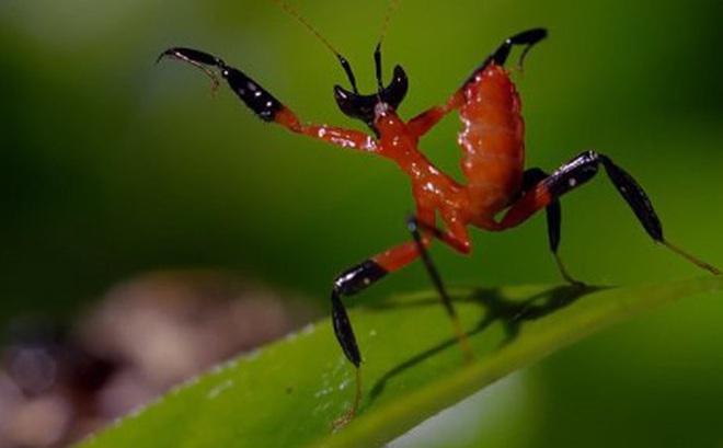 Clip: Tung thế võ gia truyền, bọ ngựa đánh lừa nhện độc khổng lồ