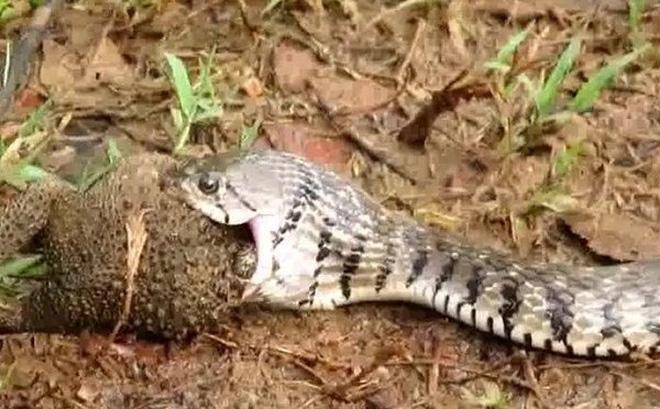 """Clip: Đang nuốt dở con mồi, rắn nước bỗng trở thành """"nạn nhân"""" khi kẻ lạ mặt này xuất hiện"""