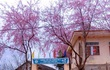 Nghệ An: Hoa đào, hoa mận nở bung tuyệt đẹp trong giá rét trước khi Tết về