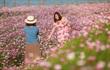 Mê mẩn cánh đồng hoa sao nhái đầy màu sắc được giới trẻ săn tìm để check-in ở Quảng Bình