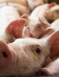 """Lý giải nguyên nhân Trung Quốc ký thỏa thuận thương mại giai đoạn 1 với Mỹ: """"Cơn khát"""" thịt"""