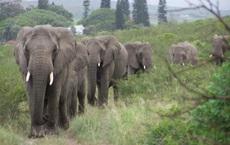 Vì sao đàn voi đi bộ 12 tiếng đến đưa tiễn một người qua đời, viếng mộ suốt 7 năm?