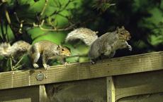 Chú sóc 'lầy lội': Đi xin ăn, thấy ngon liền 'gọi hội', ăn xong lại có hành động tuyệt vời