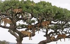 Thử tài tinh mắt: Đố bạn tìm ra đủ 10 con sư tử trên cây!