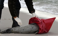 Một bệnh dịch tàn khốc đang lan tràn và tàn phá các vùng biển, không kém gì cách Covid-19 đe dọa loài người