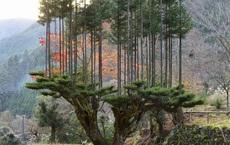Tìm hiểu về kỹ thuật trồng cây cổ xưa Daisugi giúp tạo ra nhiều cây gỗ mới từ một gốc cây