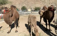 """Ấn Độ triển khai kế hoạch ấp ủ hơn 3 năm cho binh sĩ biên giới: Nhận thêm lạc đà, """"hổ mọc thêm cánh""""?"""