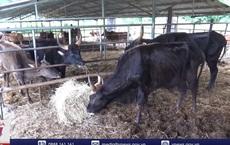 Đàn bò tót lai quý hiếm thiếu ăn, gầy trơ xương: Chúng tôi rất bức xúc khi nhìn bò gầy mòn