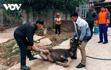 Lai Châu xử lý trách nhiệm người đứng đầu khi để gần 130 con gia súc chết rét