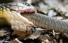 Tại sao một số loài rắn độc không bao giờ bị trúng nọc độc của chính nó: Các nhà khoa học đã tìm ra câu trả lời