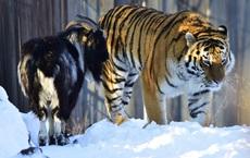 Sở thú thả con dê sống vào chuồng cho hổ ăn thịt: Hôm sau quay lại, cảnh tượng trong chuồng hổ thật khó tin