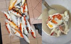 Chết nguyên đàn cá Koi 20 con, cô chủ tiếc của liền có hành động khiến dân mạng phẫn nộ
