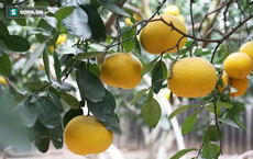 Trồng loại quả chín vàng, để càng héo càng thơm ngon, nông dân Hà Nội thu nửa tỷ vụ Tết