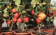Cây táo nở ra hoa dâm bụt và những lần nhà giàu bị hố khi chi tiền triệu mua cây cảnh Tết