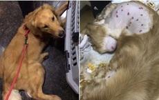 Giao chú chó Golden cho dịch vụ ký gửi hàng không, cô chủ không thể tin vào mắt mình khi gặp lại thú cưng