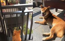 Chó Shiba lặng lẽ ngồi ngoài ban công suốt đêm, chủ gọi cũng không vào, sáng hôm sau cô chủ mới ngỡ ngàng: Nó đã bị dày vò cả đêm!