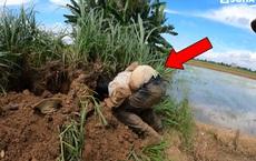 Đào hang sâu bên bờ ruộng, nhóm người phát hiện loài rắn độc hơn cả hổ mang chúa và cạp nong
