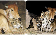 Mối quan hệ kỳ lạ giữa một con báo rừng và bò vàng