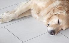 Dắt Golden đi công viên, lúc về thấy chó nôn ra máu: Kết quả siêu âm khiến ông chủ sững sờ