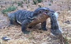 Clip: Kỳ đà đào hang bắt gọn thỏ trong chớp mắt