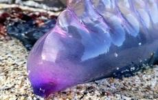 Sinh vật kịch độc với toàn thân màu tím xuất hiện trên bãi biển ở Anh