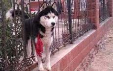 """Bỏ ra 11 triệu đồng mua con chó về canh cửa giữ nhà, một thời gian sau, chủ nhà mới phát hiện ra 1 sự thật """"đắng lòng"""" về con vật"""