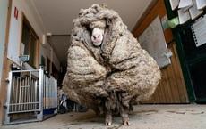 """Chú cừu nhận """"cái kết đắng"""" sau nhiều năm trốn khỏi vòng tay của con người"""