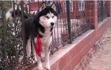 Mạnh tay chi 11 triệu đồng mua Husky để trông nhà, tình cảnh về sau khiến chủ nhà chỉ biết than trời