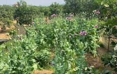 Báo động tình trạng dân tự ý gieo trồng cây thuốc phiện ở Bắc Giang, Lạng Sơn 'làm rau ăn'