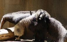 1001 thắc mắc: Động vật có chiếc lưỡi dài kỳ quái nhất hành tinh?