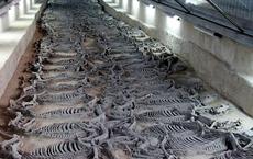 Ngôi mộ đế vương chôn theo 600 con chiến mã: Kiểm tra hộp sọ bất ngờ phát hiện phương pháp hiến tế tàn bạo