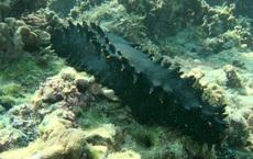 """Bị coi là """"thần dược kích dục"""", sinh vật dưới đáy đại dương bị vơ vét tàn bạo do nhu cầu của Trung Quốc"""