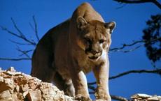 Mẹ kinh hãi chứng kiến con trai bị báo sư tử tấn công rồi sững sờ trước 1 điều kỳ diệu xảy ra