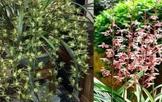 Loài hoa lan vua chúa chỉ mấy chục ngàn đồng mua cả ôm, sự thật là thế nào?