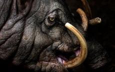 Loài lợn kì dị với răng nanh mọc dài đến nỗi có thể đâm thủng sọ của chính mình