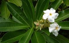 Loài cây hoa thơm quả có ích nhưng lại mang danh 'cây tự sát' - ở Việt Nam có nhiều tên gọi