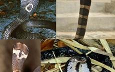Những loài rắn hổ mang thực sự sống ở Việt Nam, tại sao không có hổ mang chúa?