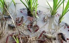 Một tỉnh ở Trung Quốc đã mất 10 năm chiến đấu với tôm hùm: Tôm hùm tràn lan khắp nơi nhưng không thể ăn, vì sao?