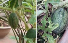 Tốn công gieo hạt rồi chăm bẵm cây dưa hấu trong chậu, tới lúc xẻ ra ăn cô gái mới 'té ngửa' khi nhìn thấy bên trong