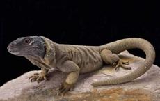 Loài thằn lằn to lớn chỉ xuất hiện tại một nơi duy nhất trên thế giới