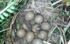 Nhặt được ổ trứng mang về cho gà nhà ấp, một tuần sau, người phụ nữ không khỏi phiền não khi trứng nở ra những con vật này