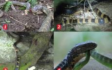Tại sao hổ mang chúa không hề hấn gì khi bị các loài rắn độc cắn trả, nó có miễn nhiễm với nọc mọi loài rắn?