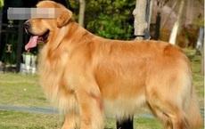 Mang chó cưng về quê nhờ người thân nuôi giúp, nửa tháng sau gặp lại, chủ nhân bàng hoàng không dám tin vào cảnh tượng trước mắt