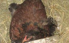 Gà mái tự nhiên ít khi ra khỏi ổ dù không đẻ hay ấp trứng, lại gần kiểm tra, cảnh tượng bên trong ổ gà khiến lão nông đờ người