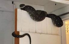 Dọn nhà, người đàn ông phát hiện 1 con rắn, nhìn kích thước của nó ai cũng muốn bỏ chạy thật xa