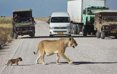 Sư tử cái dắt con băng qua đường, đang đi bỗng đứa con biến mất, quay lại thì thấy cảnh tượng này!