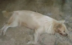 Chó nuôi 3 năm tự nhiên quay ra cắn chủ, tức giận đánh chết con vật, ngày hôm sau, chủ nhà bàng hoàng hối hận khi biết sự thật phía sau