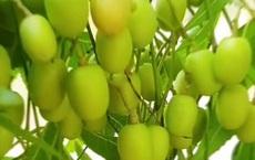 Miền Tây có một loại cây cực thú vị mà nơi khác chưa chắc đã biết: Nghe tên cực buồn nhưng ăn lại cực vui!