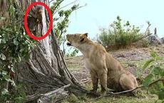 Khỉ mẹ bị ăn thịt, khỉ con vội vàng tháo chạy khỏi móng vuốt của sư tử cái và hồi kết khiến tất cả sửng sốt